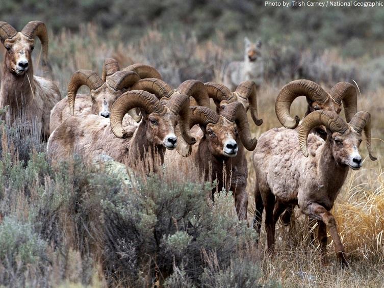bighorn-sheeps-2