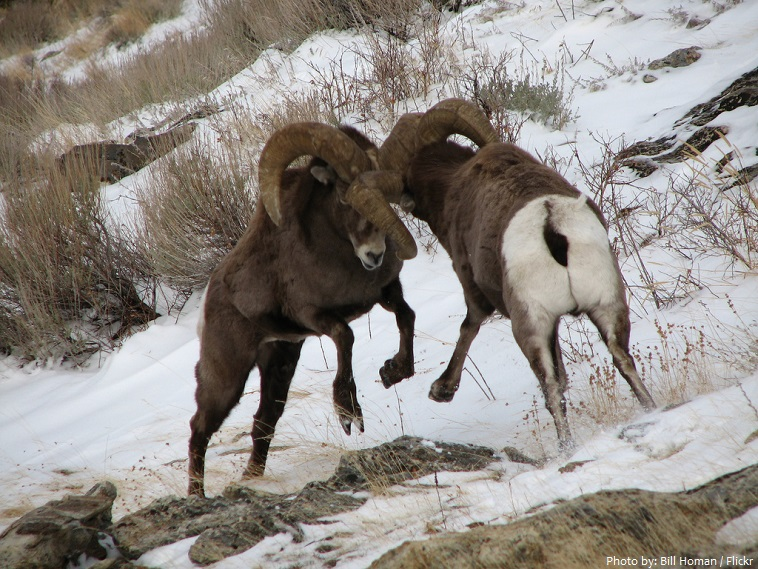 bighorn sheeps fight