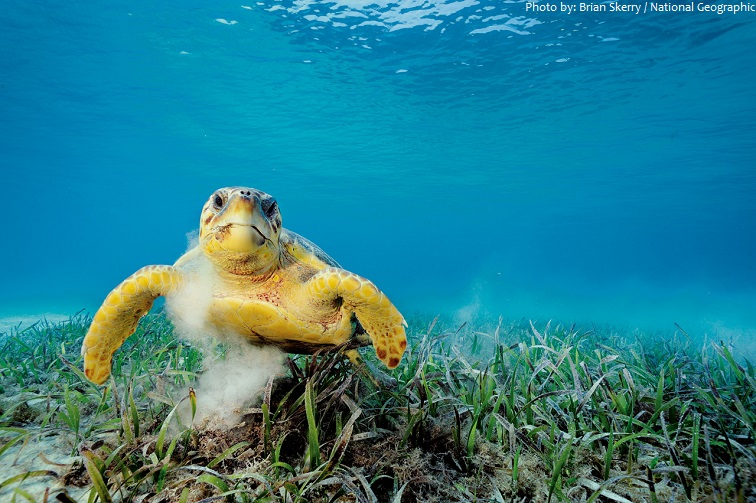 caribbean sea sea turtle
