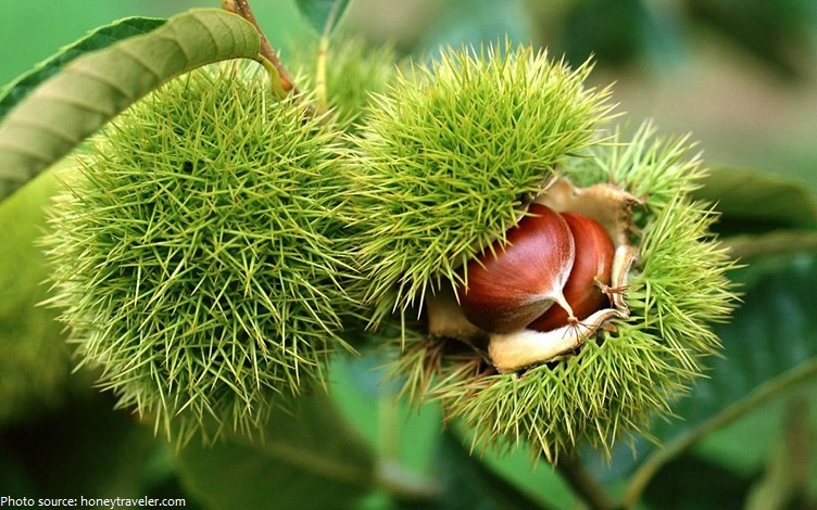 chestnut tree fruit