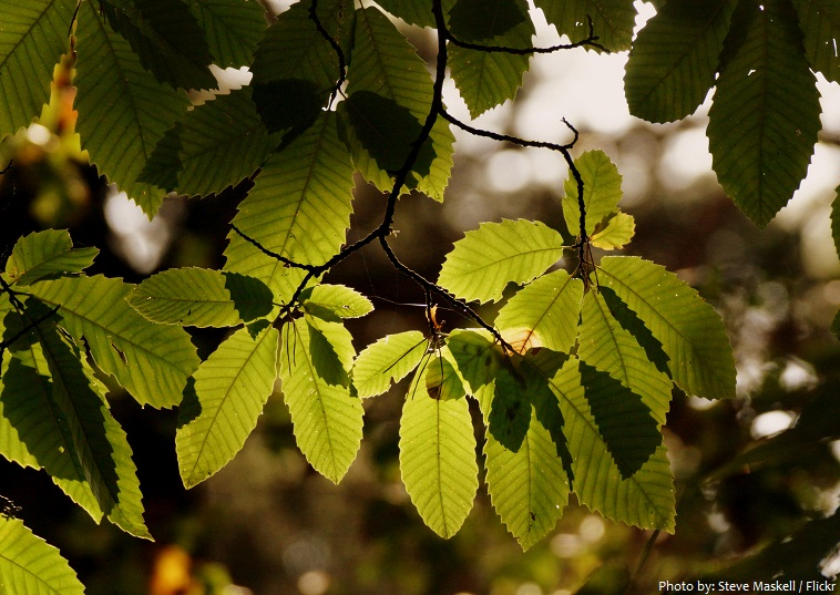 chestnut tree leaves