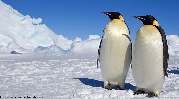 emperor-penguins-2