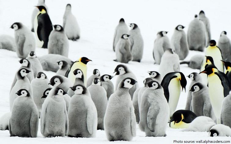 emperor penguins crèche