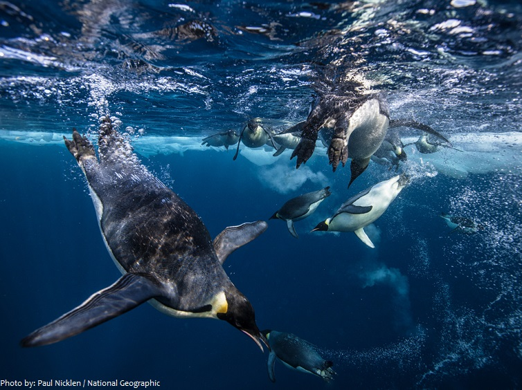emperor penguins underwater