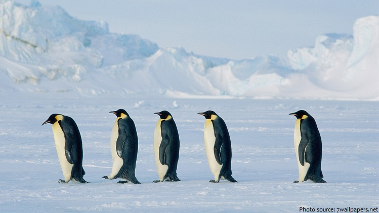 emperor penguins walking