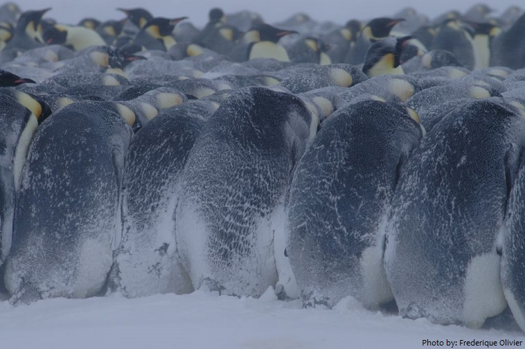 emperor penguins winter