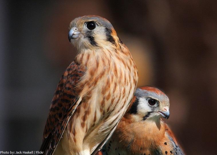 falcon pair