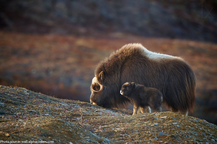 musk ox mother and baby