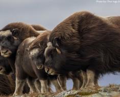 musk-oxen