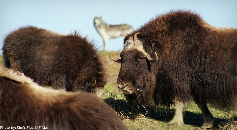 musk oxen eating