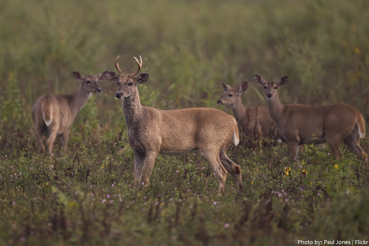 white tailed deer herd