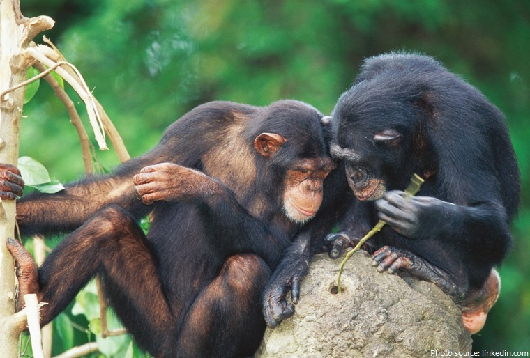 chimpanzees-2
