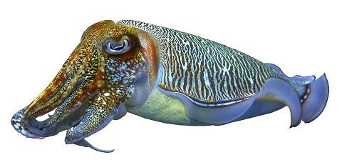 cuttlefish-4