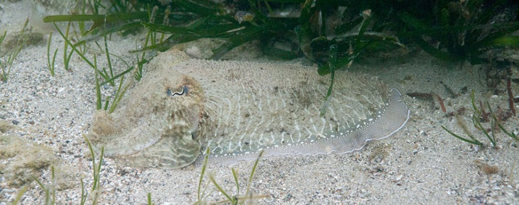 cuttlefish-camouflage-2