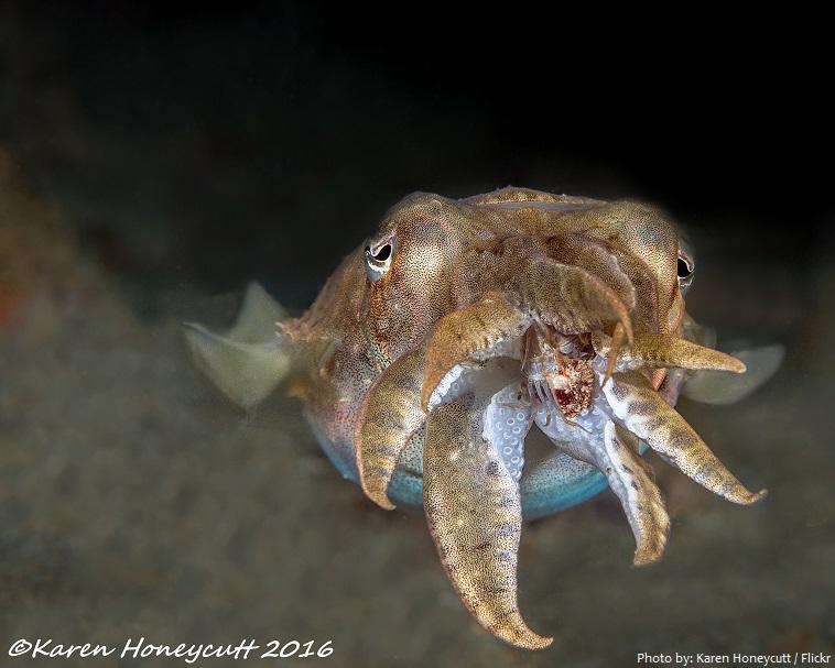 cuttlefish eating
