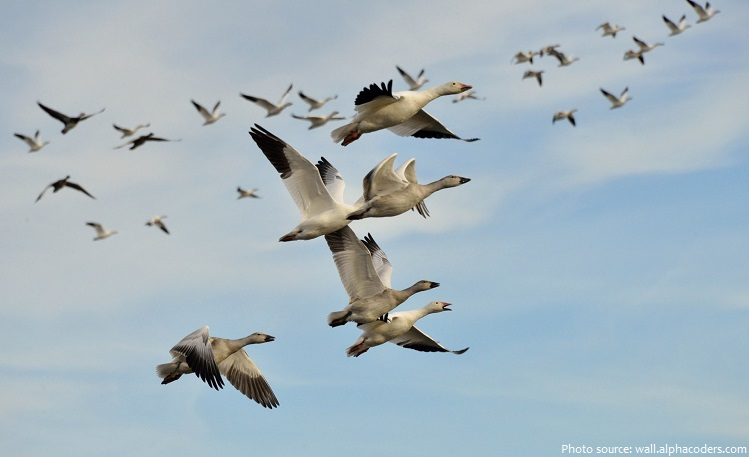 geese-flying-2