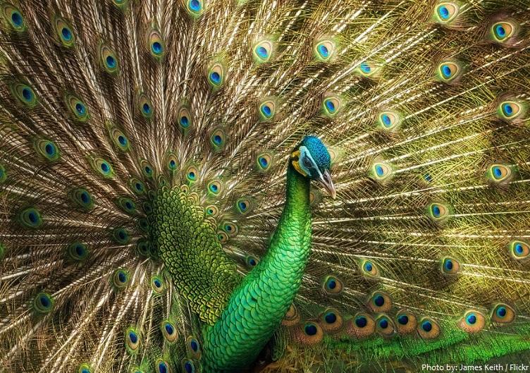 gren peacock