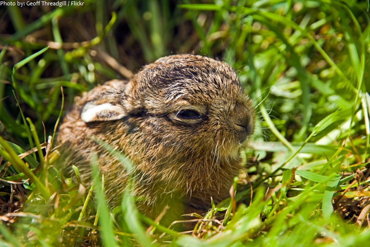 hare leveret