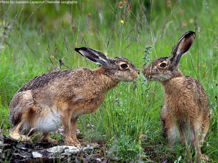 hares-2