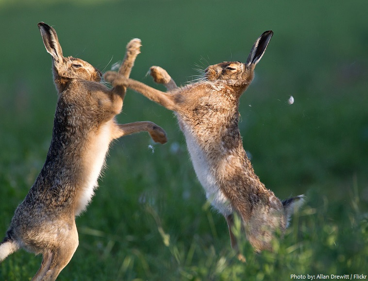 hares boxing