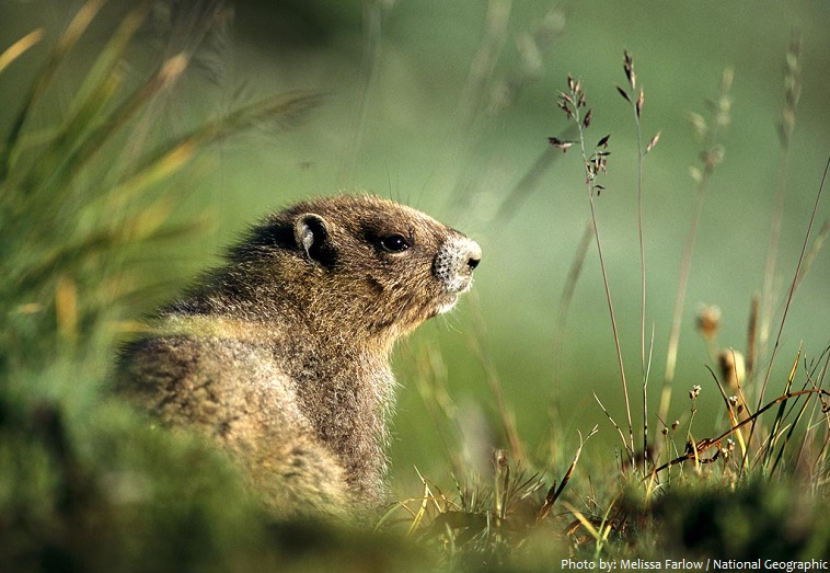 Interesting facts about marmots | Just Fun Facts
