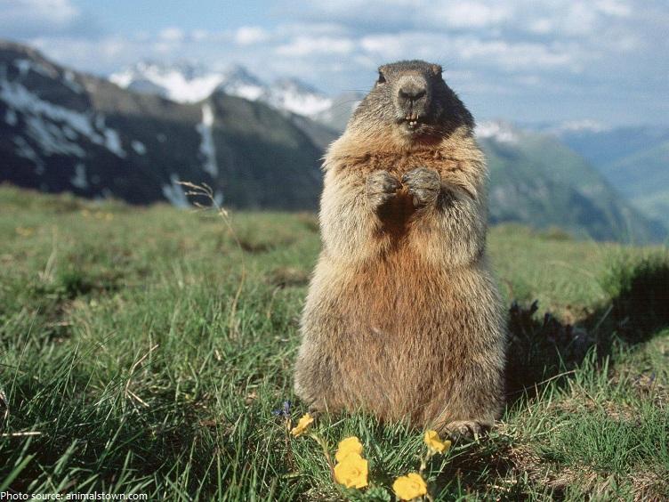 marmot-3