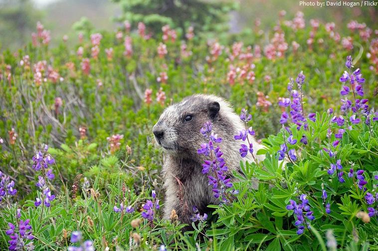 marmot-5