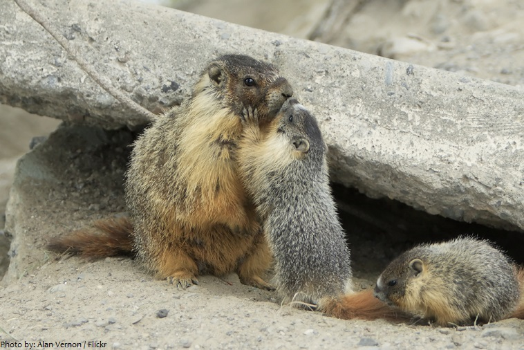 marmot mother and pups