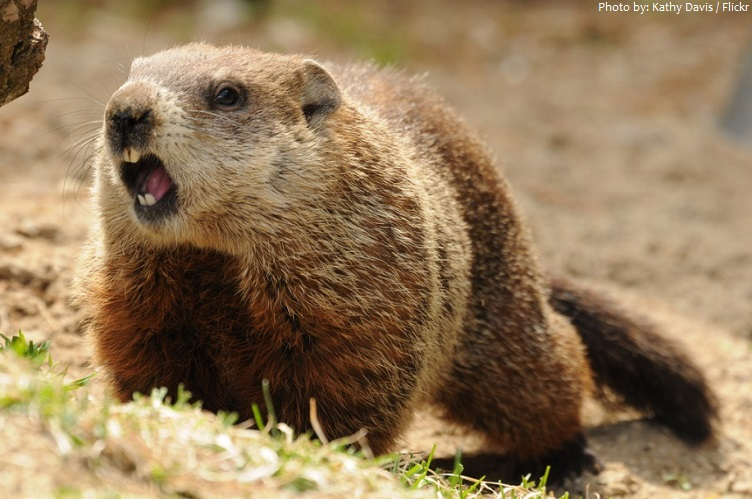 marmot teeth