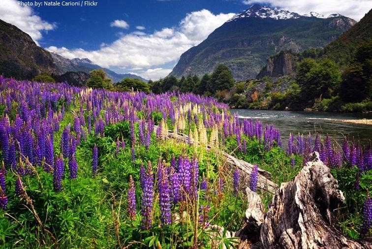patagonia flowers