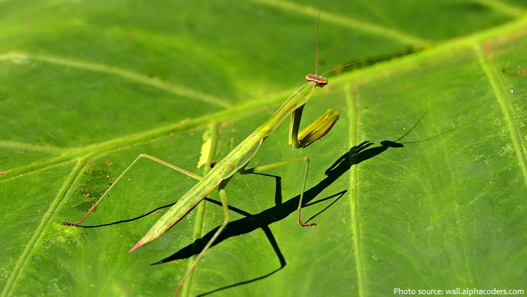 praying-mantis-3