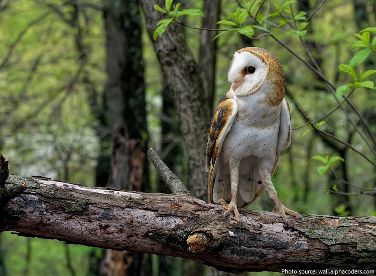 Interesting Facts About Barn Owls Just Fun Facts