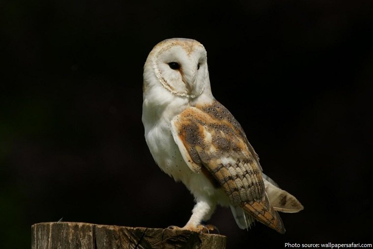 barn owl at night