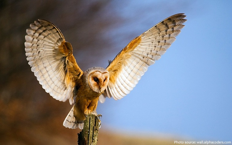 barn owl wingspan