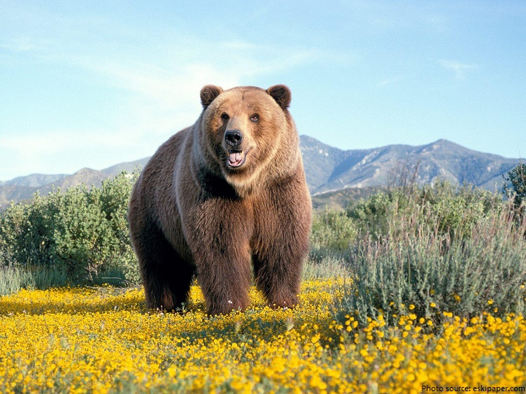 brown-bear-2