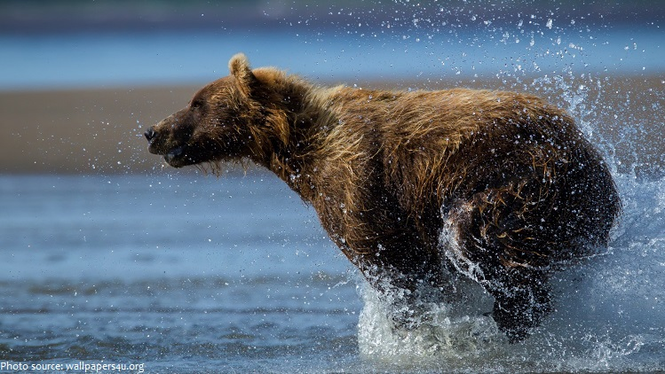 brown bear running