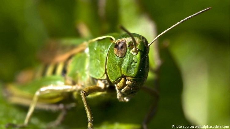 Interesting facts about grasshoppers | Just Fun Facts