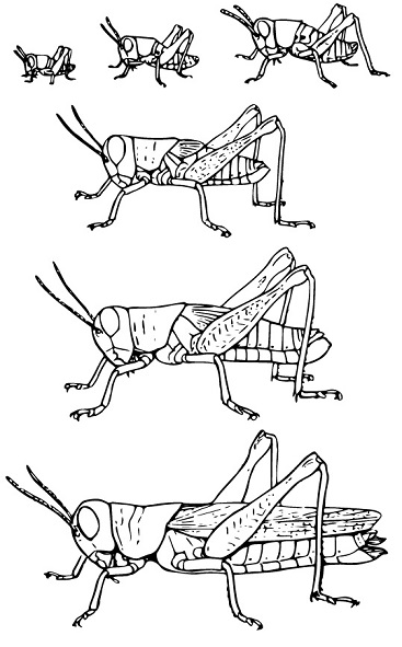 grasshopper-incomplete-metamorphosis-stages