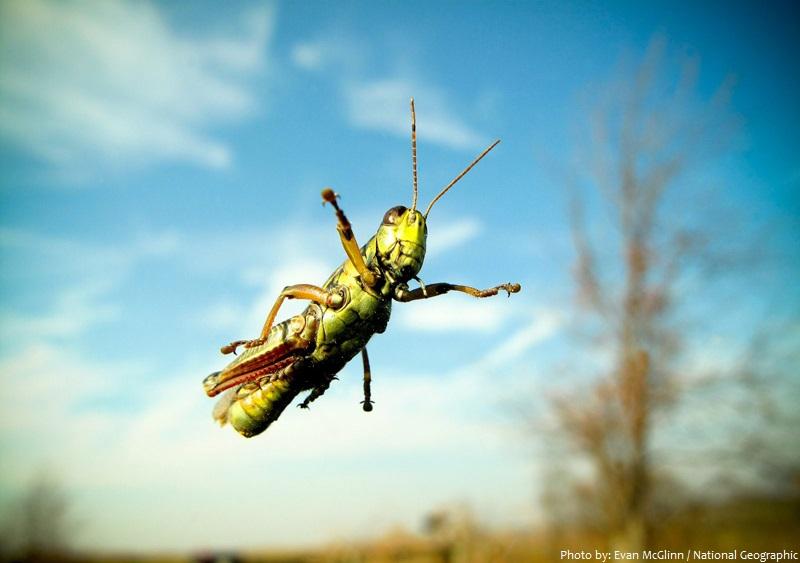 grasshopper jump