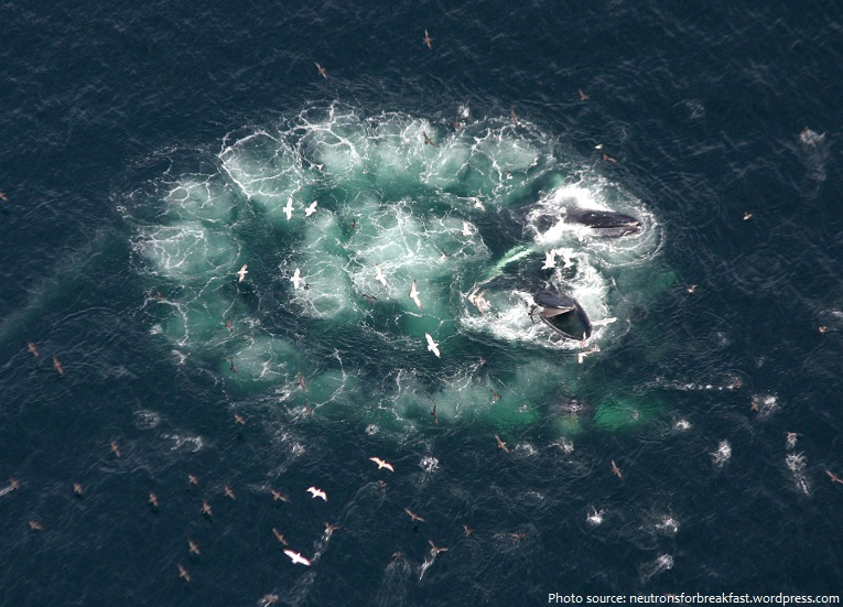 humpback whale bubble net