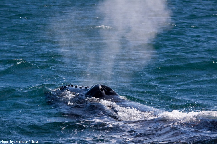 humpback whales breathing