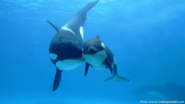 killer whale mother and baby