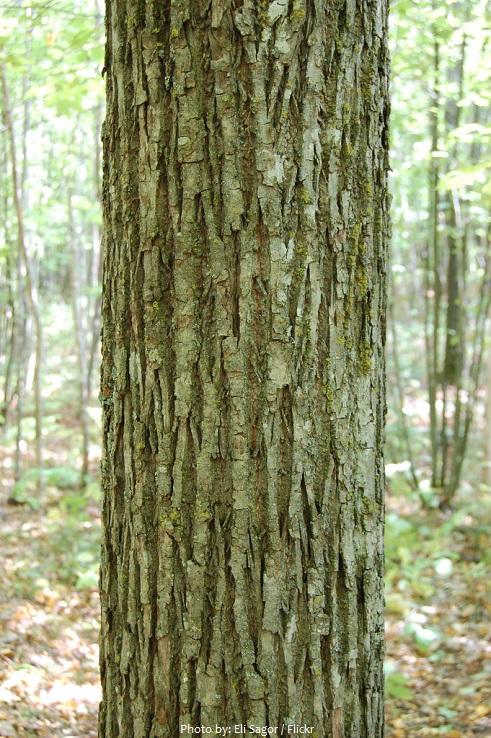 linden bark