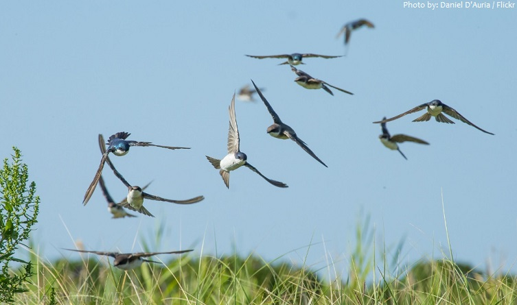 swallow flock