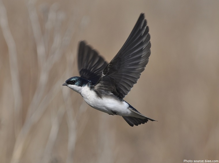 swallow flying