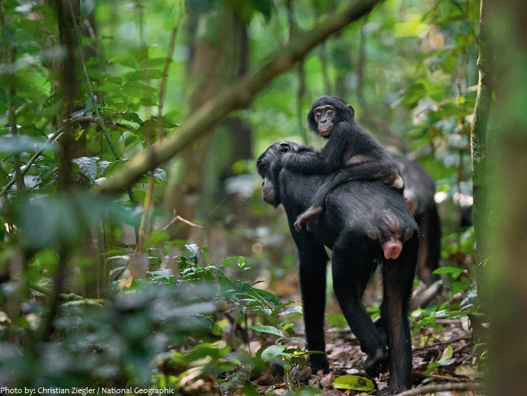 bonobo mother and young