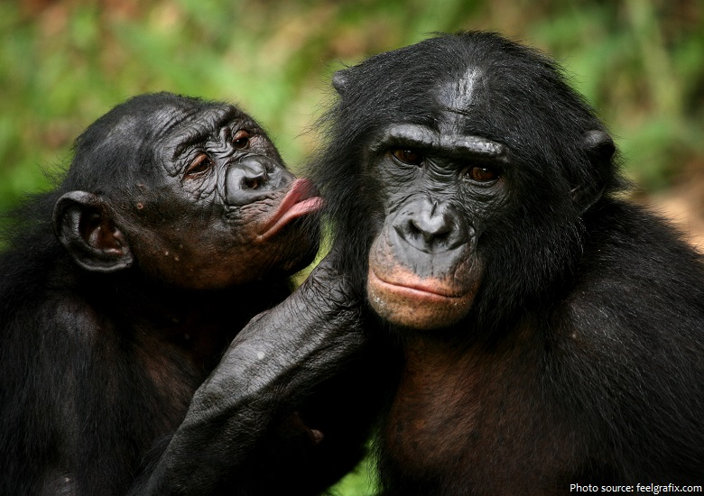 bonobos communicate