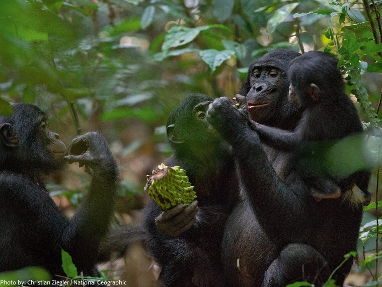 Interesting facts about bonobos | Just Fun Facts