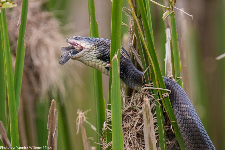 cobra eating prey