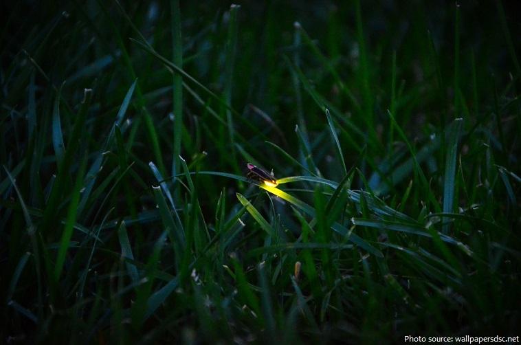 firefly-2